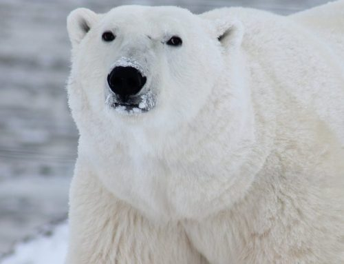 6 INTRIGUING FACTS ABOUT POLAR BEARS